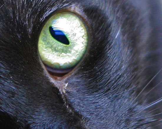 black cat closeup eye