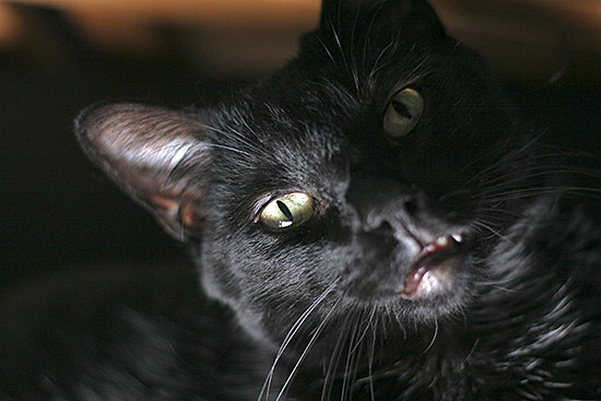 black cat cheshire grin closeup