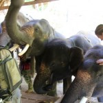Hungry elephants at Patara Elephant Camp, Chiang Mai, Thailand