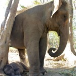 New baby elephant at Patara Elephant Camp, Chiang Mai, Thailand