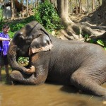 Cleaning elephant at Patara Elephant Camp, Chiang Mai, Thailand