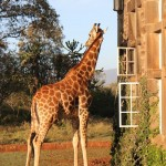 Giraffe at window of Giraffe Manor in Nairobi during Wedding World Tour