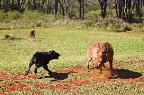 Dog Chasing Warthog at Giraffe Manor in Nairobi during Wedding World Tour