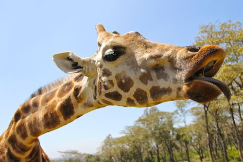 Feeding Lynn at Giraffe Manor in Nairobi during Wedding World Tour