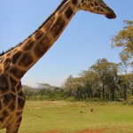 Giraffe at Giraffe Manor in Nairobi during Wedding World Tour