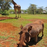 Giraffe and warthog at Giraffe Manor in Nairobi during Wedding World Tour