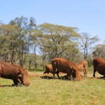 Warthogs at Giraffe Manor in Nairobi during Wedding World Tour