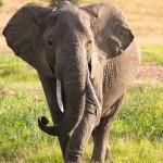 elephant in masai mara or maasai mara